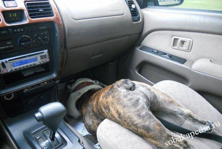 Как перевозить собаку в машине