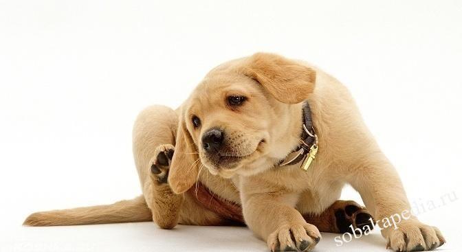 Лечение чесотки у собак