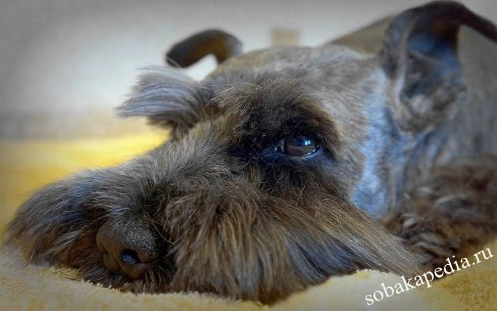 Аденовироз у собак симптомы
