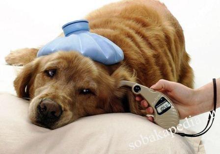 Аденовироз у собак профилактика