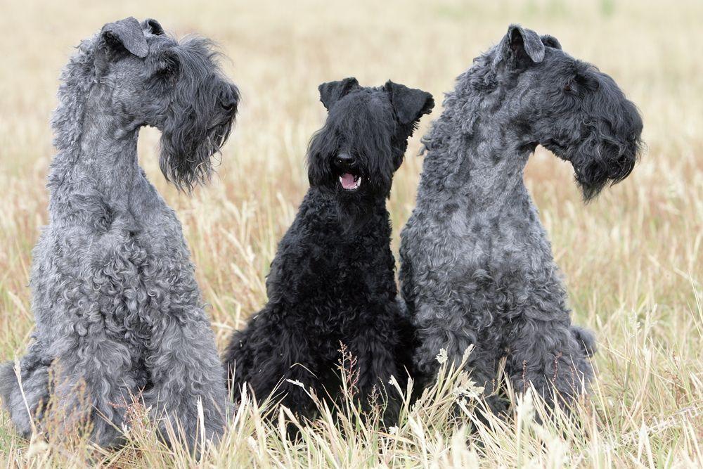 Керри-блю-терьер: Голубая мечта многих собаководов