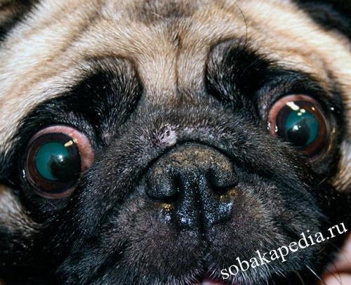 Что такое кератит у собак-виды, диагностика и терапия