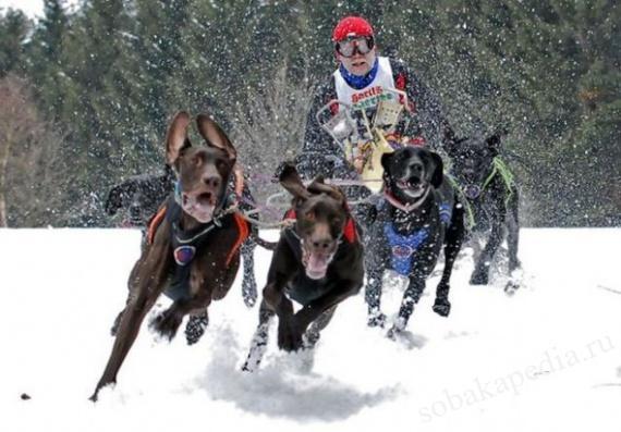 Скиджоринг с собакой-спорт и развлечение не только для собаки
