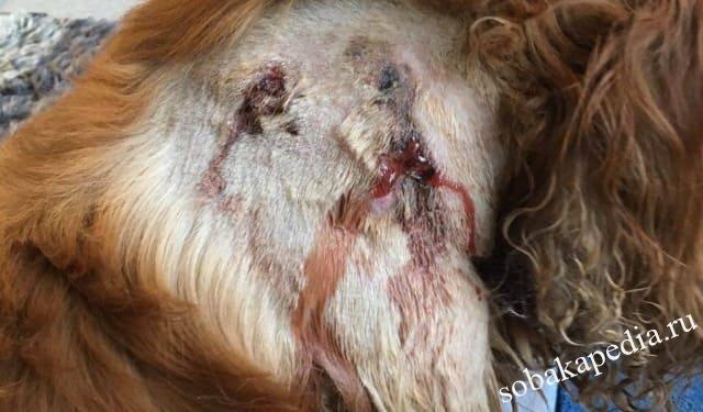 Лептоспироз у собак: источники заражения, симптомы и лечение