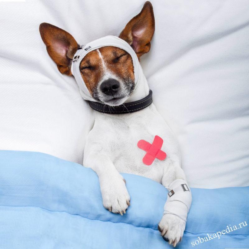 Осложнения при стафилококке у собак