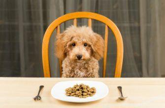 Что едят пудели: чем кормить