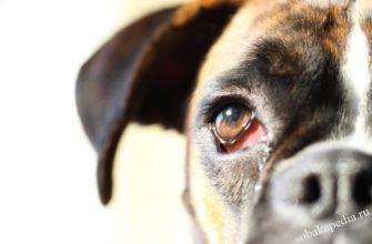 Конъюнктивит у собаки