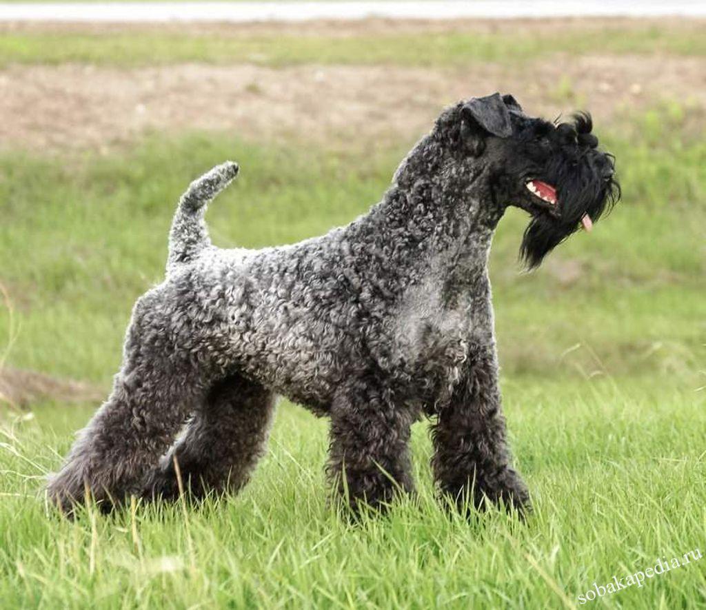 Керри блю терьер: описание породы, характер собаки