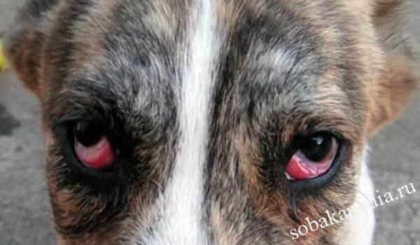 Конъюнктивит глаз у собак. Причины, симптомы, виды и лечение