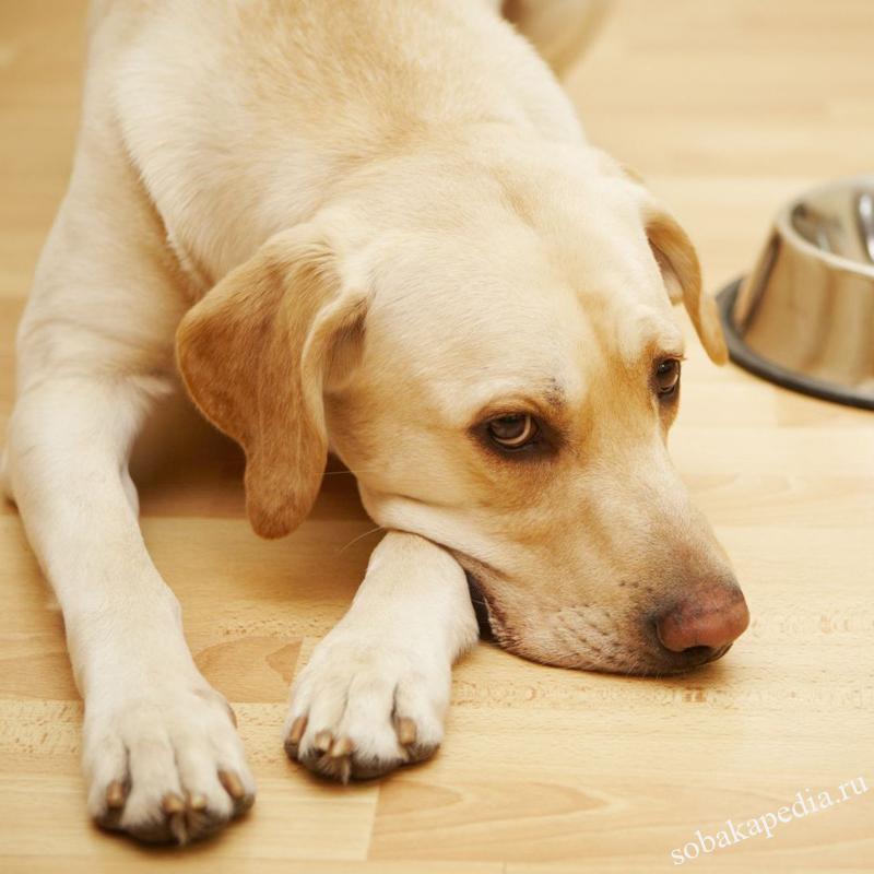 Симптомы глистов у собаки