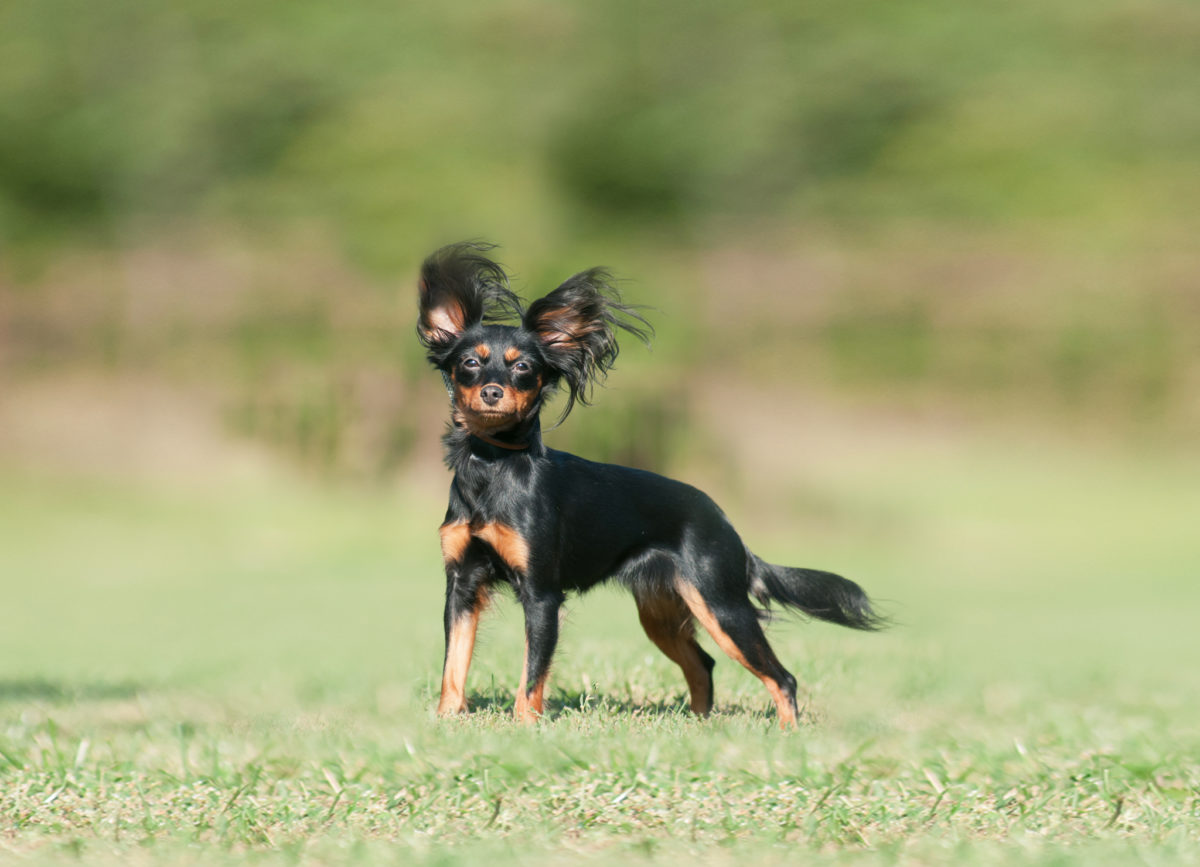 Русский той-терьер-собака с лучшим слухом