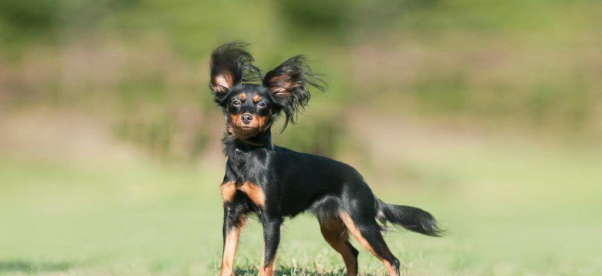 Русский той-терьер – фото собаки, описание характера