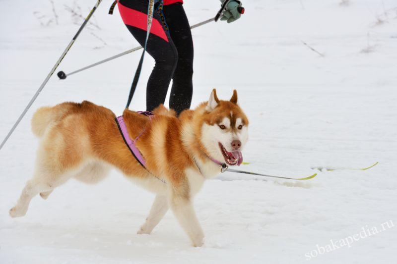 Скиджоринг с собакой