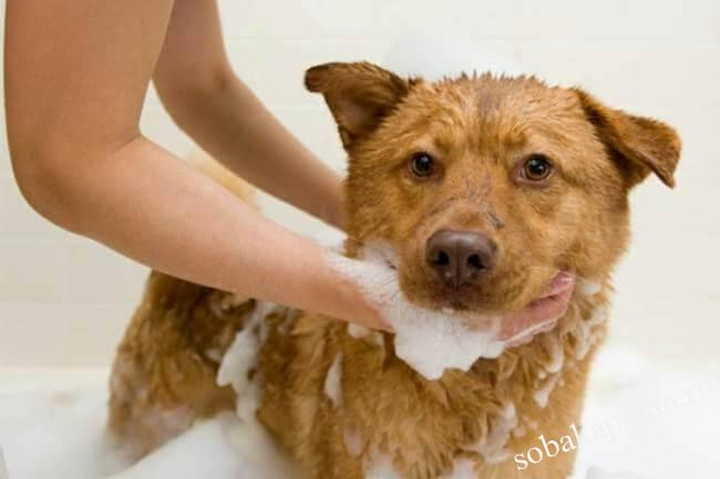 Лечение власоедов у собак