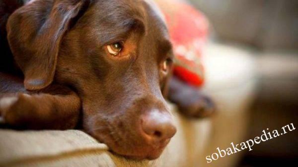 Эндометрит у собак: признаки, симптомы, лечение