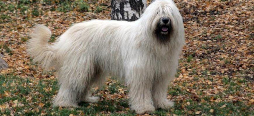 Южнорусская овчарка: фото и описание породы, цена собаки и отзывы