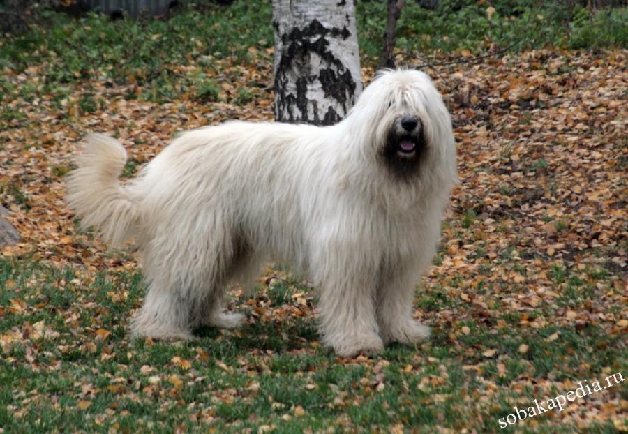 Южнорусская овчарка-самая преданная собака