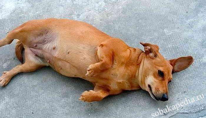 Симптомы пиометры у собак, формы, осложнения и лечение болезни