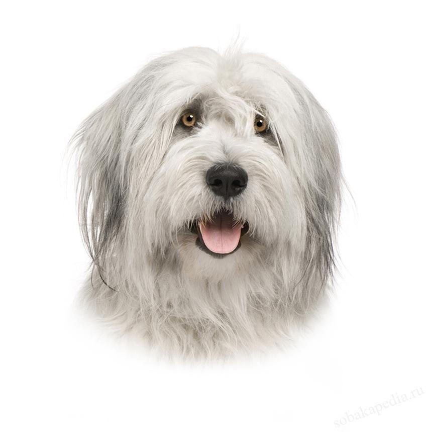 Порода собак Южнорусская овчарка - описание, характер