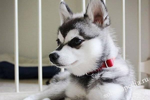 Аляскинский кли-кай (мини-хаски): фото собаки