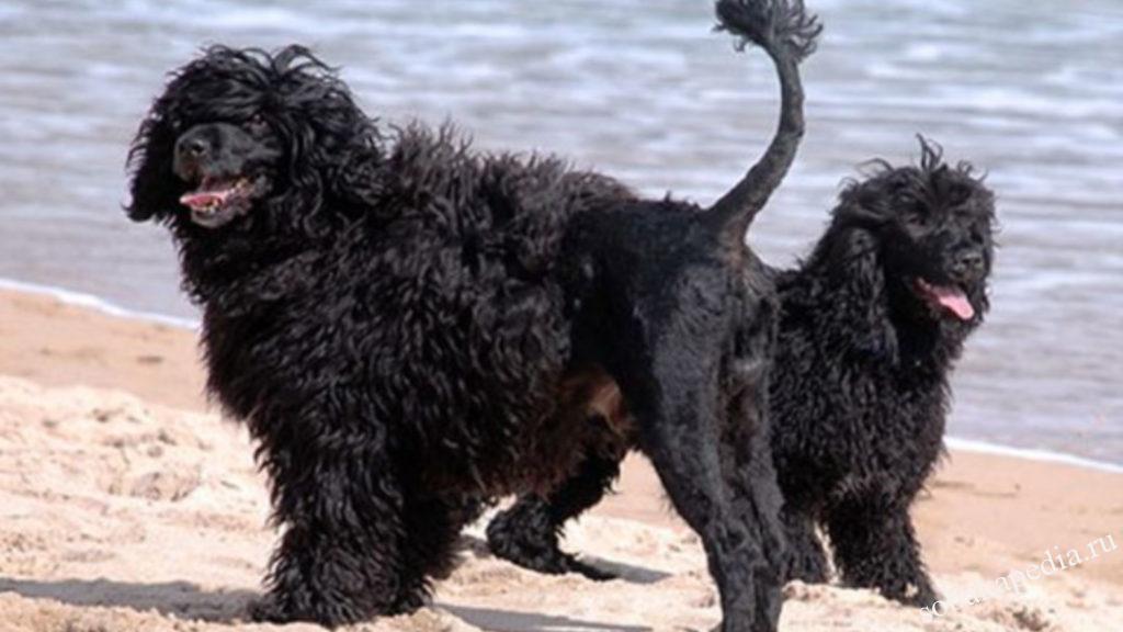 Характеристика Португальской водяной породы собак
