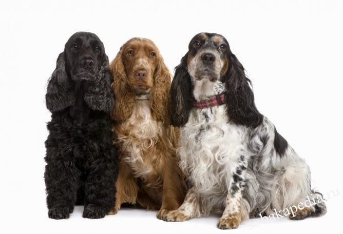 Обзор породы собак Английский кокер спаниель
