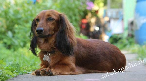 Длинношерстная такса: фото собаки, цена, описание породы