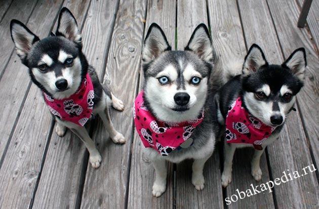 Аляскинский кли-кай: фото, описание, характер, содержание