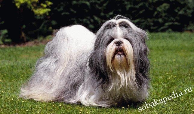 Порода собак Ши-тцу - уход,питание,воспитание
