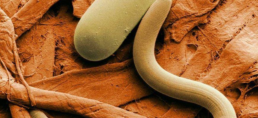 Гельминтоз и виды паразитов у собак