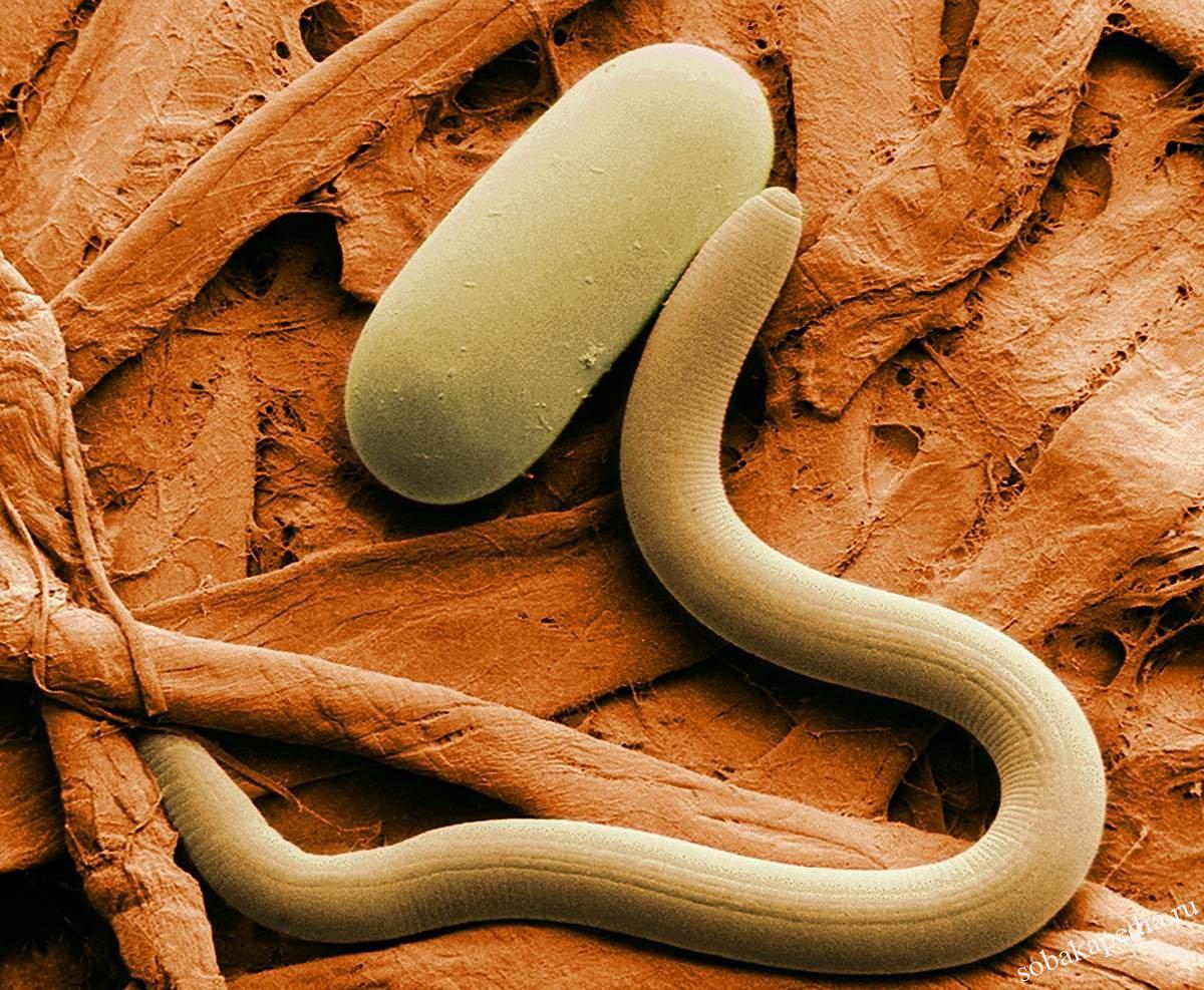 Гельминтоз и его виды паразитов, профилактика для собаки