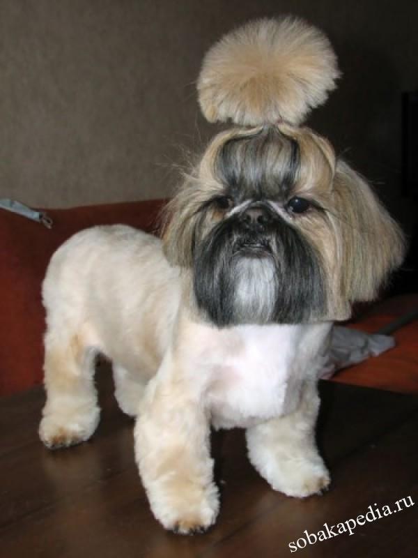 Ши-тцу. О породе собак: описание породы ши-тцу, цены, фото, уход