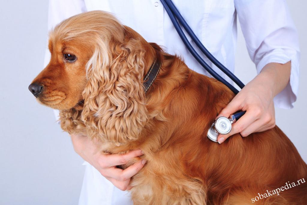 Цирроз печени у собак: симптомы и лечение, прогноз жизни