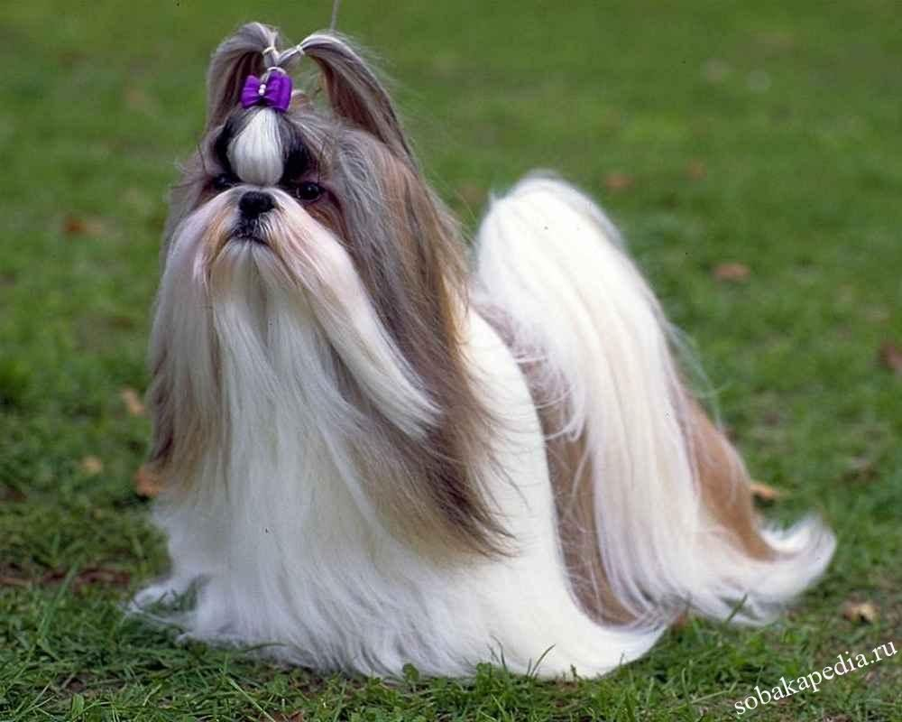 Ши-тцу — нежные собачки-хризантемки