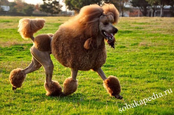 Пудель — ловкая и умная собака
