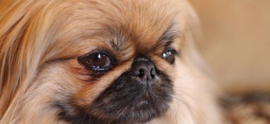 Пекинес - подробности о породе собак пекинес с фотографиями