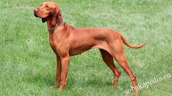Венгерская выжла — собака с золотистым окрасом, обожавшая охоту