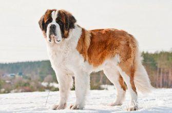 Сенбернар описание породы собак, характеристики, внешний вид