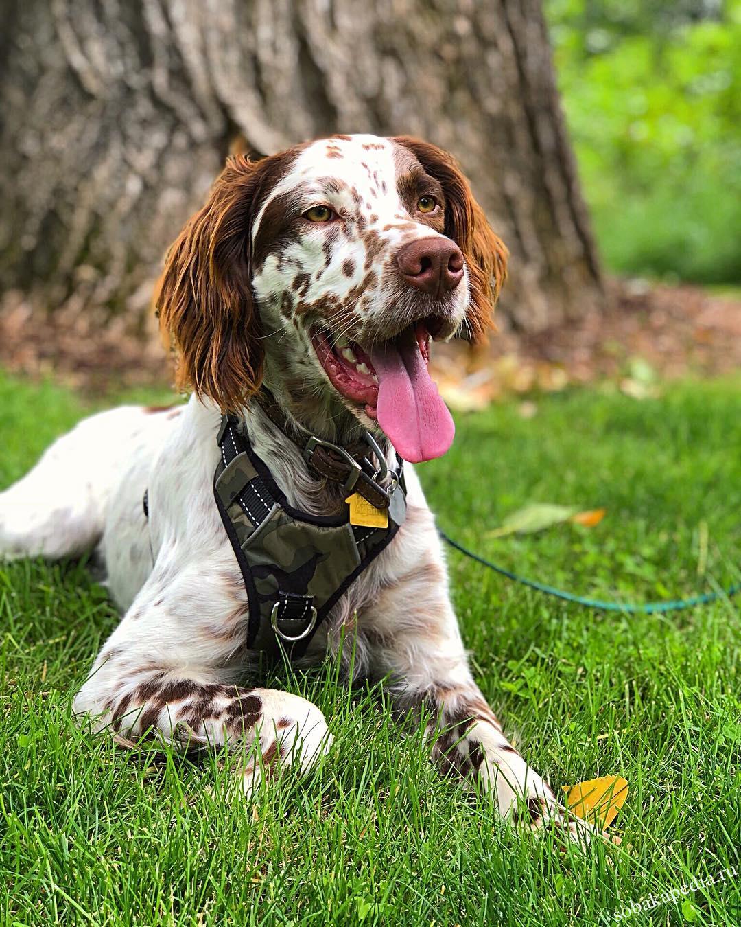Английский сеттер: все о собаке, фото, описание породы