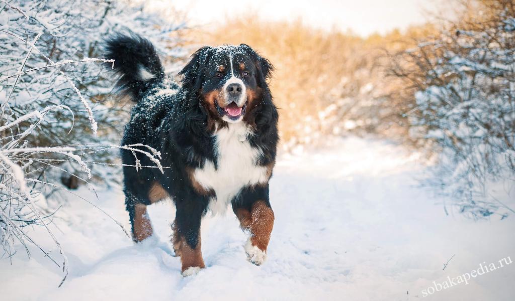 Бернский зенненхунд: все о собаке, фото, описание породы