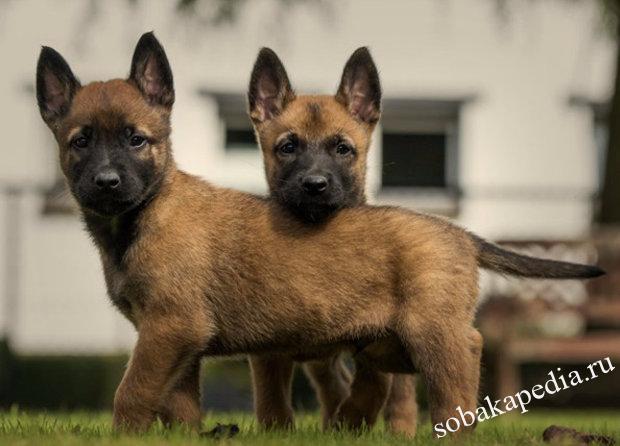 Порода собак бельгийская овчарка: фото, видео, описание
