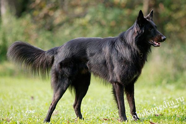 Бельгийская овчарка описание породы собак, характеристики