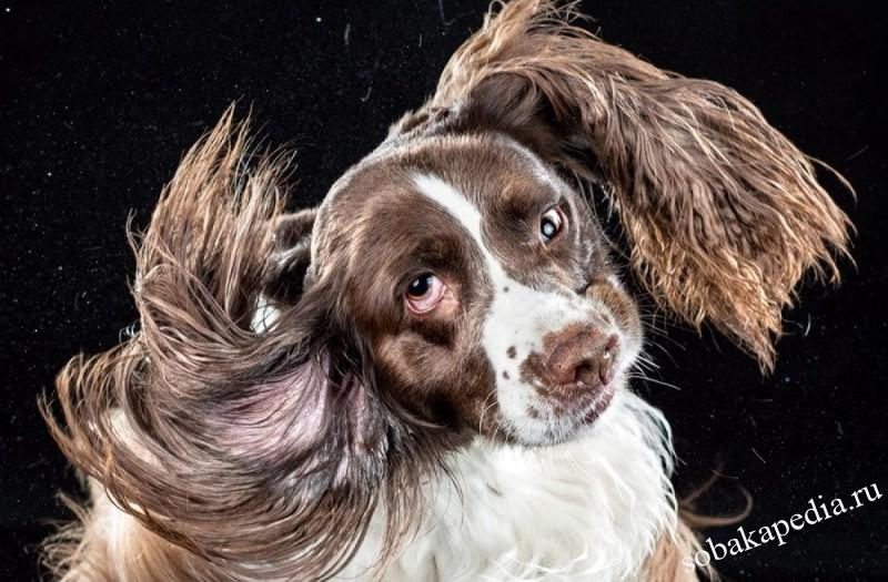 Почему собака чешет уши и трясет головой — возможные причины