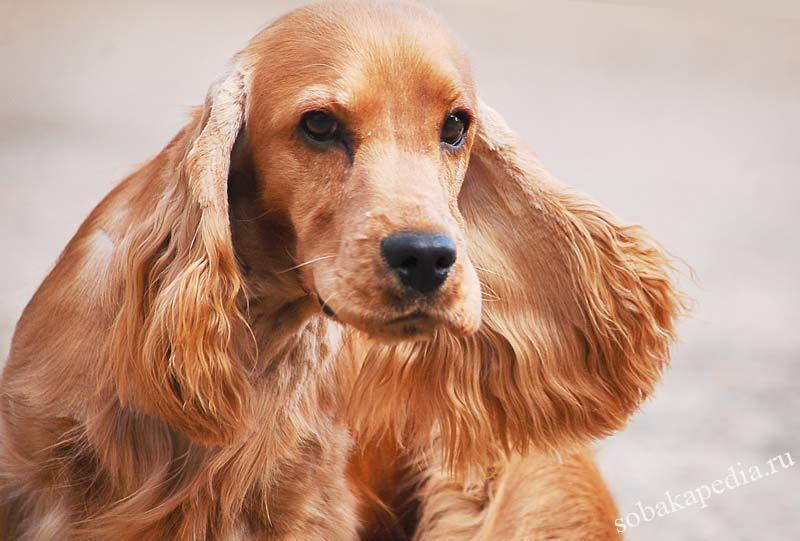 Английский кокер-спаниель — частый победитель спортивных соревнований среди собак