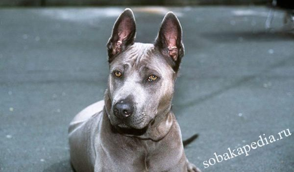Тайский риджбек: фото, стандарт и описание породы собак