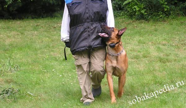 """Как научить собаку выполнять команду """"рядом"""" и избежать ошибок"""