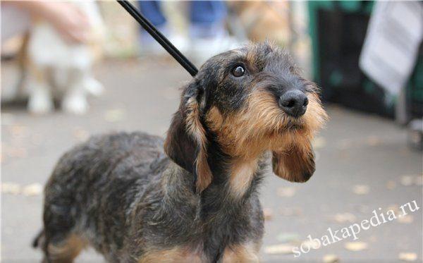 Жесткошерстная такса: фото собаки, цена, описание породы