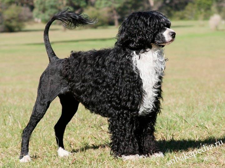 Португальская водяная собака: описание породы собак с фото