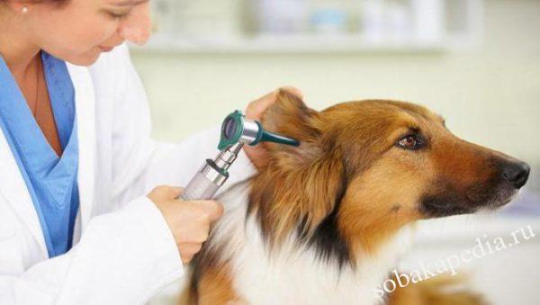 Собака трясет головой и чешет ухо: причины, первая помощь