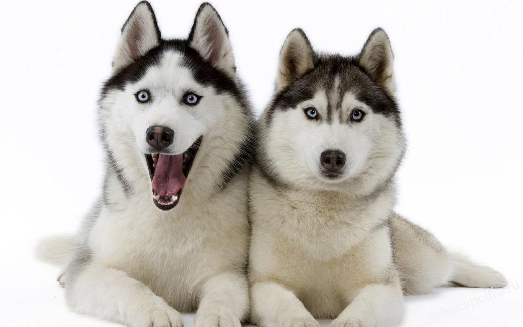 Как ухаживать за хаски с момента появления щенка в доме — питание, прогулки, вакцинация
